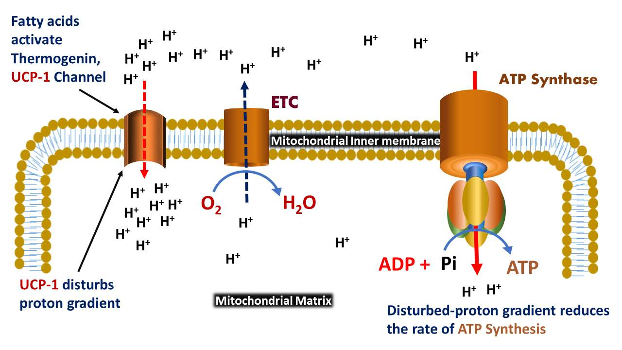 Uncoupling Protein