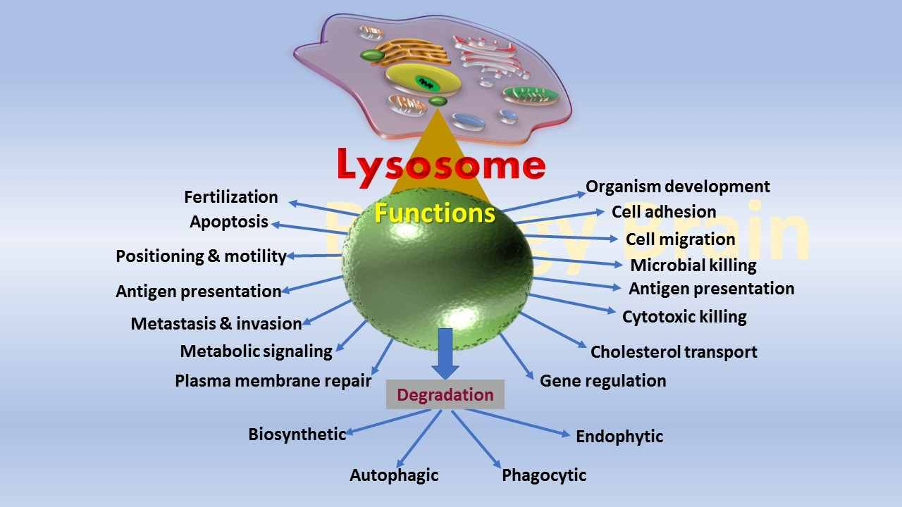 What does a Lysosome do in a animal cell