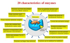 20 Characteristics of enzymes