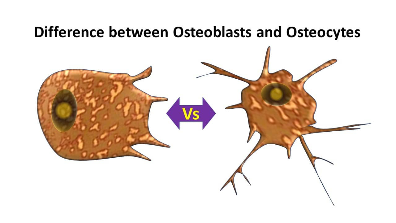 Difference between osteoblasts and osteocytes