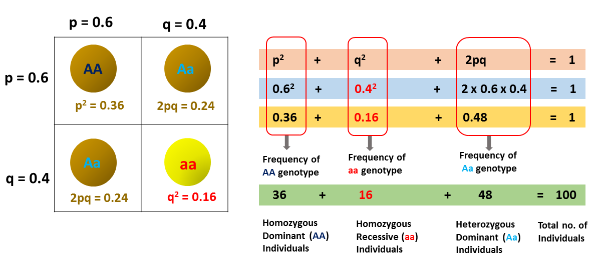 If q = .4, what is the frequency of homozygous recessive individuals