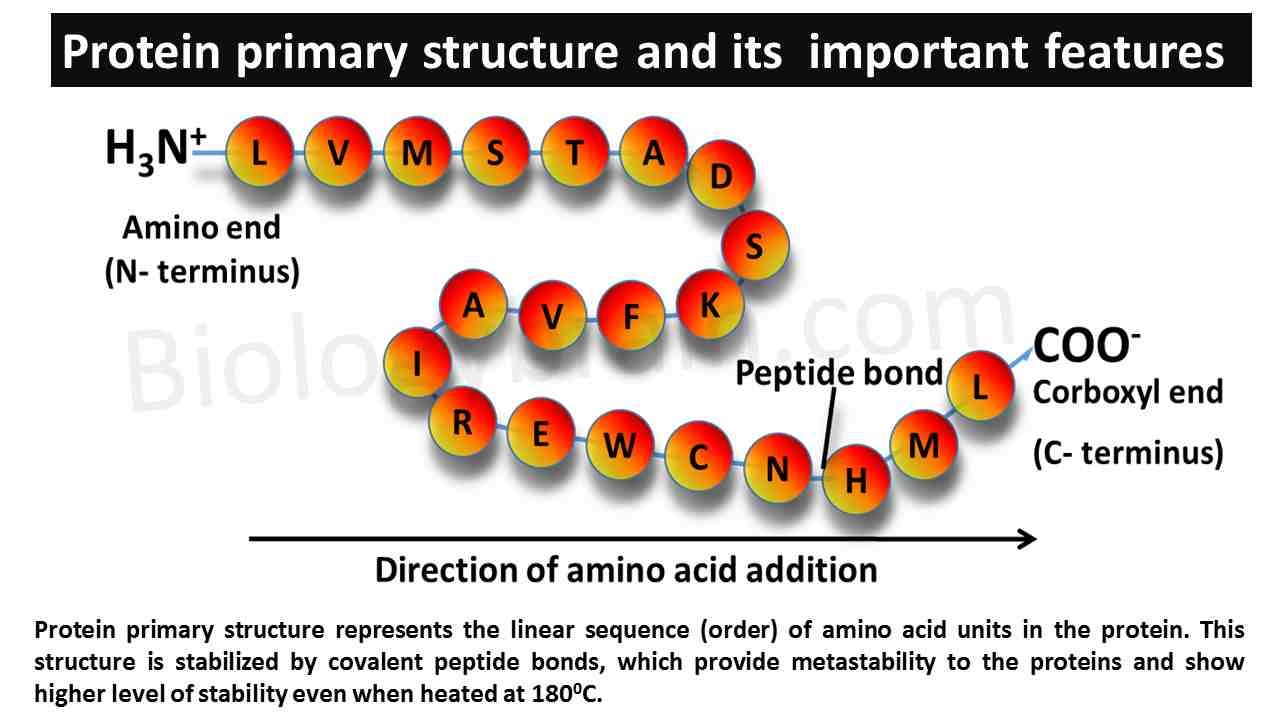Primary Protein structure of protein
