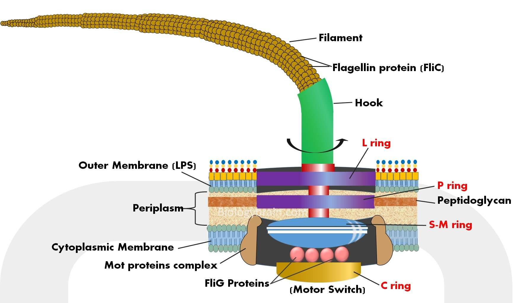 Structure of flagella