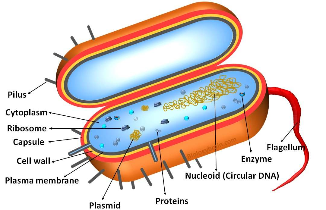 Structure of prokaryotic cell
