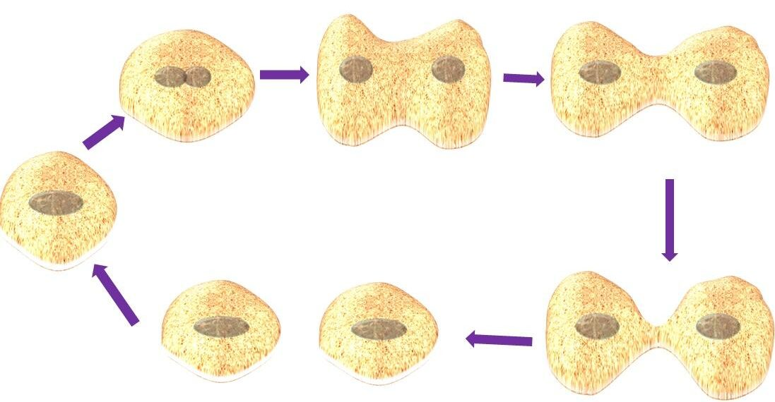 Mitotic cell division structure