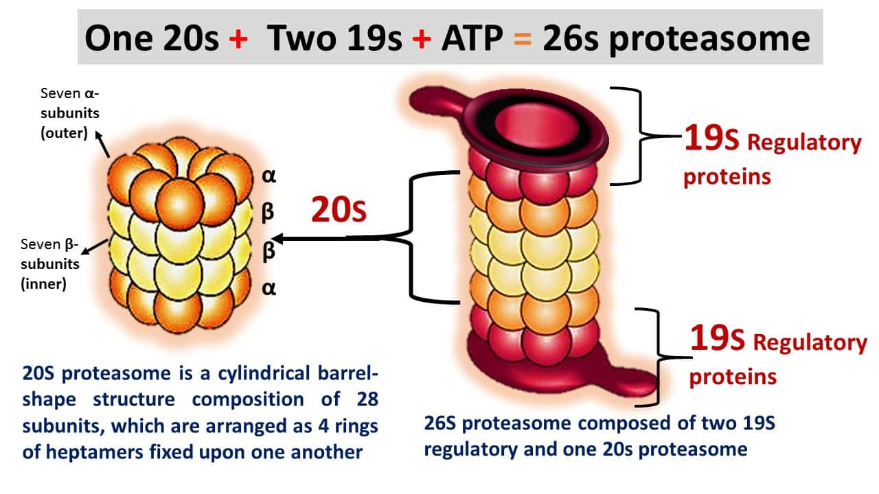 Structure of Proteasome